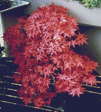bonsai info center acer palmatum atropurpureum. Black Bedroom Furniture Sets. Home Design Ideas