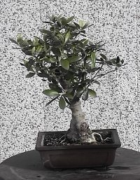 bonsai info center olea europaea. Black Bedroom Furniture Sets. Home Design Ideas